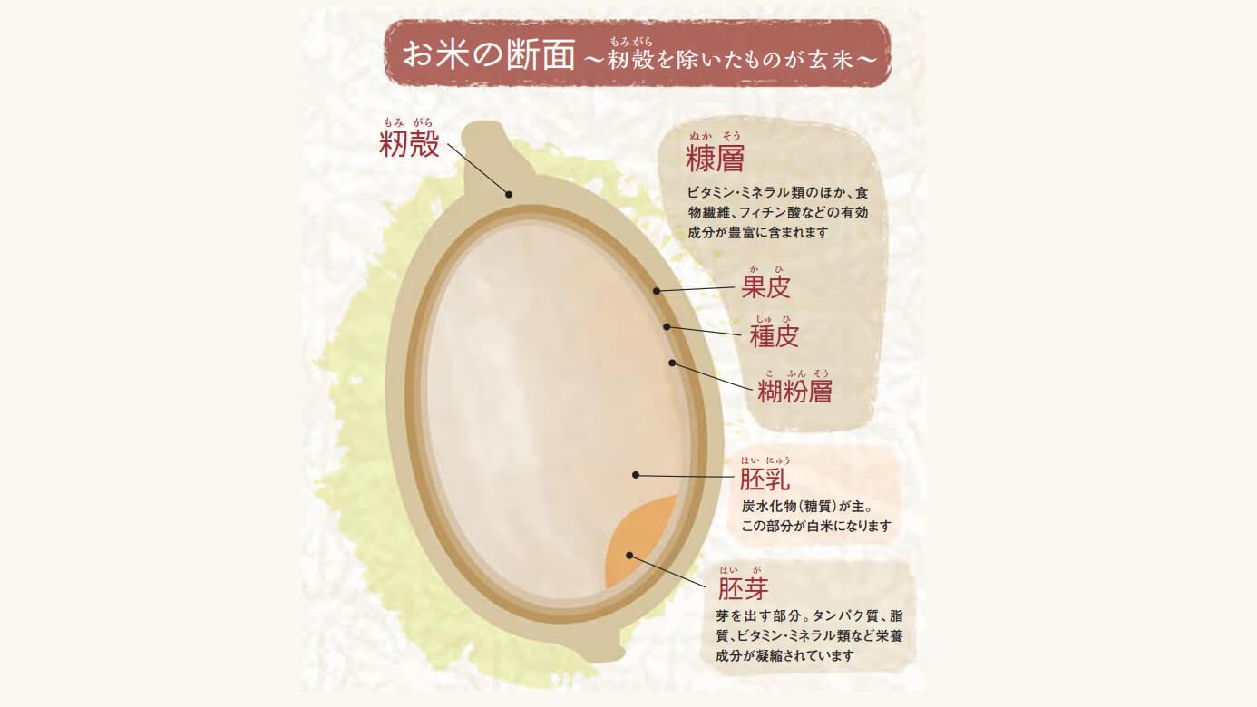 【玄米の断面図の写真】