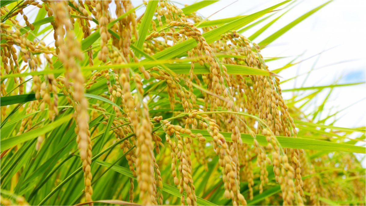 玄米、発芽玄米、発芽米って?違いは?